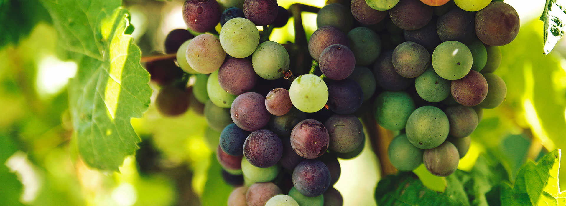 veraison in the vineyard